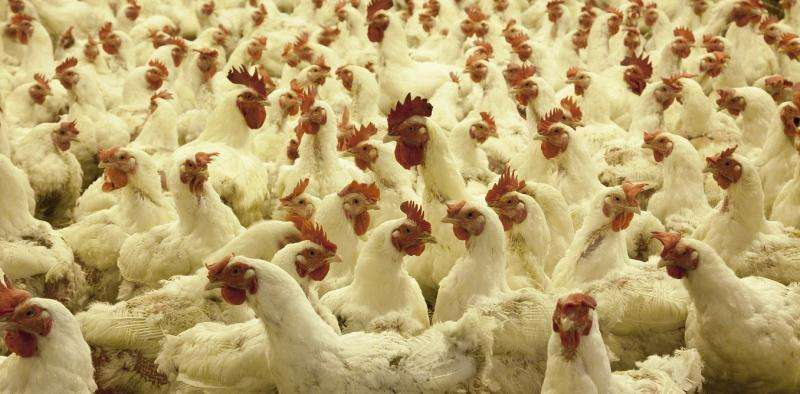 Why aren't we more outraged about eating chicken?