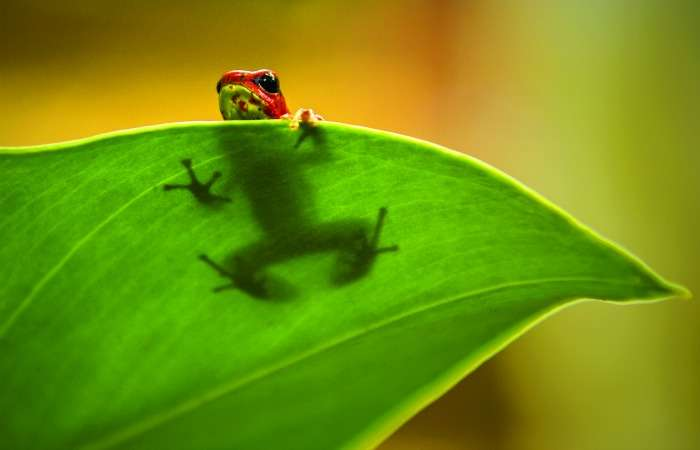 Why frogs need saving