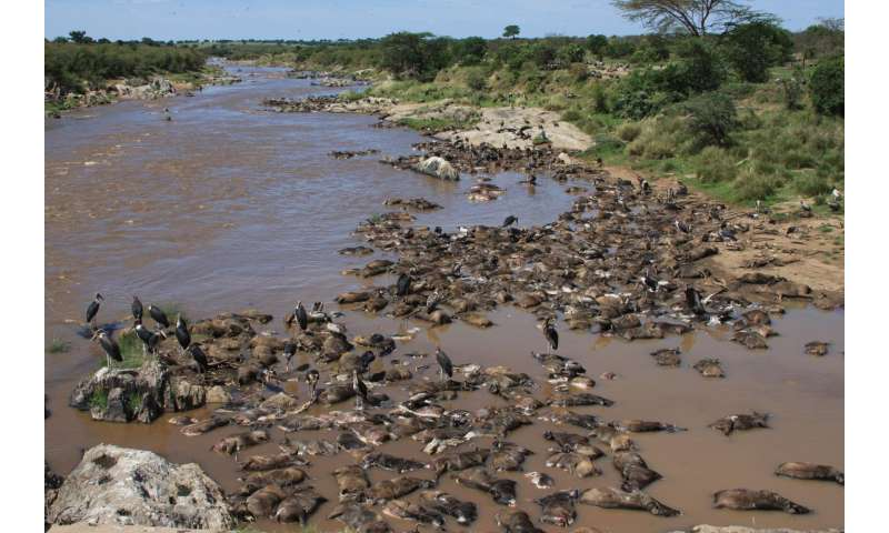 Wildebeest feast: Mass drownings fuel the Mara River ecosystem