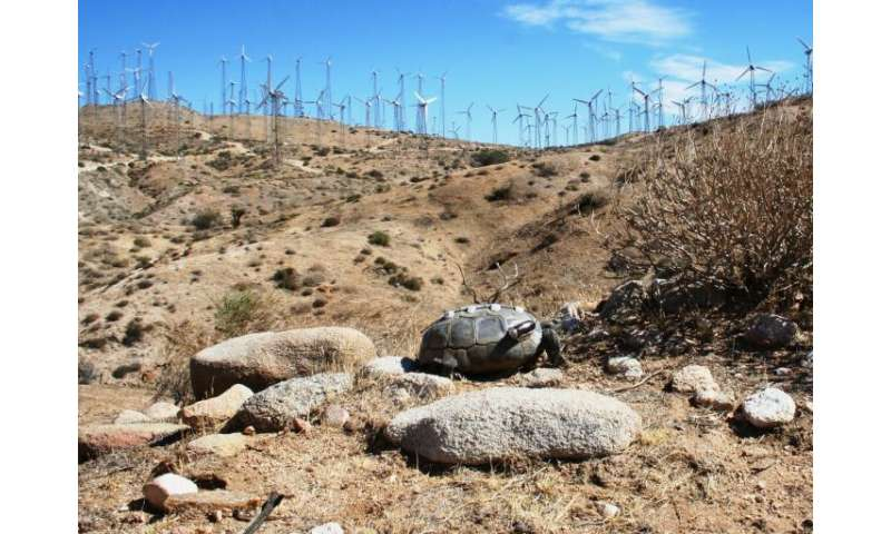 Wind turbines affect behavior of desert tortoise predators