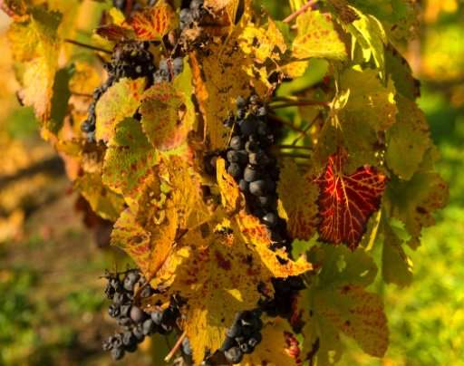 Wine output was squeezed to a 50-year low this year, according to the International Organisation of Vine and Wine (OIV)