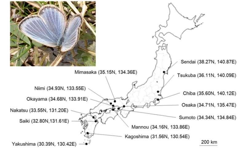 Wolbachia bacterium density changes seasonally in butterflies