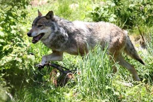 Wolves, such as this one seen in France in 2015, are at risk of local extinction in Norway, where there are 105 to 112 individua