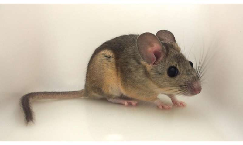 Woodrats can't stomach favorite foods at high temps