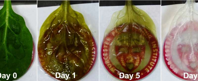 WPI team grows heart tissue on spinach leaves