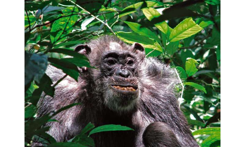 Yale-led study: Wild chimpanzees have surprisingly long life spans
