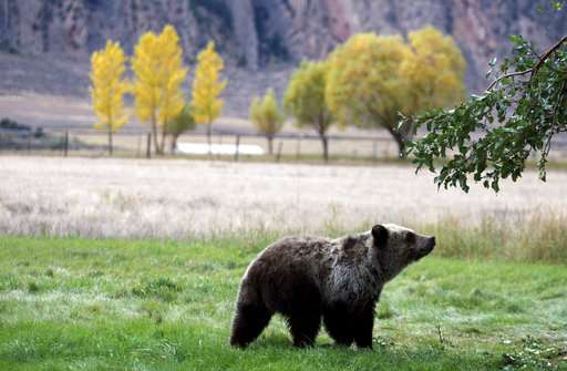Yellowstone grizzlies removed from threatened species list