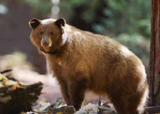 Yosemite tracking daily journey of bears online