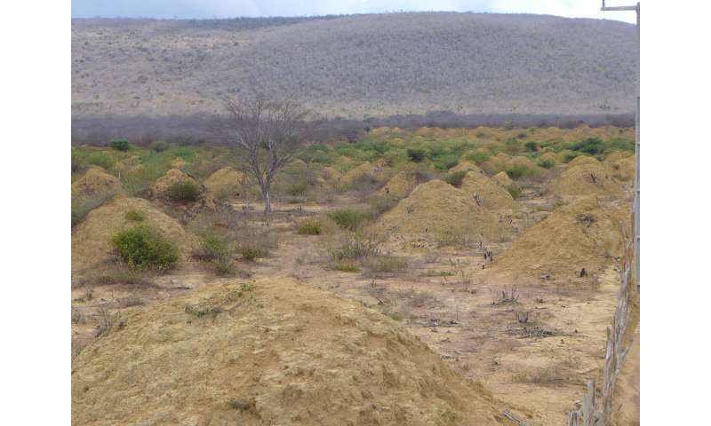 Risultati immagini per Researchers have found that a vast array of regularly spaced, still-inhabited termite mounds in northeastern Brazil