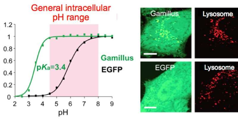 Acid-tolerant green fluorescent protein for bioimaging