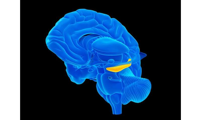 Adult human brains don't grow new neurons in hippocampus, contrary to prevailing view