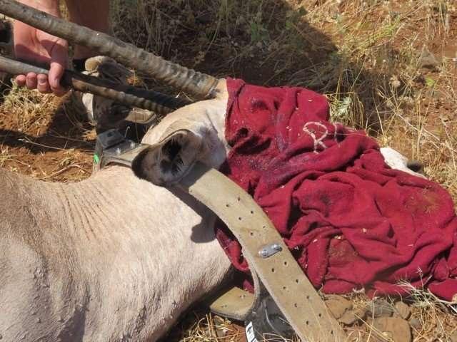 Aerial surveys highlight beisa oryx hotspot