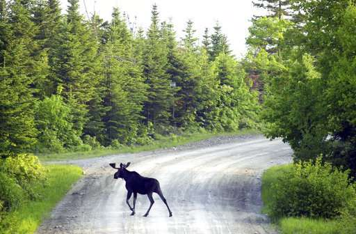 A glimmer of hope for health of moose in northern US