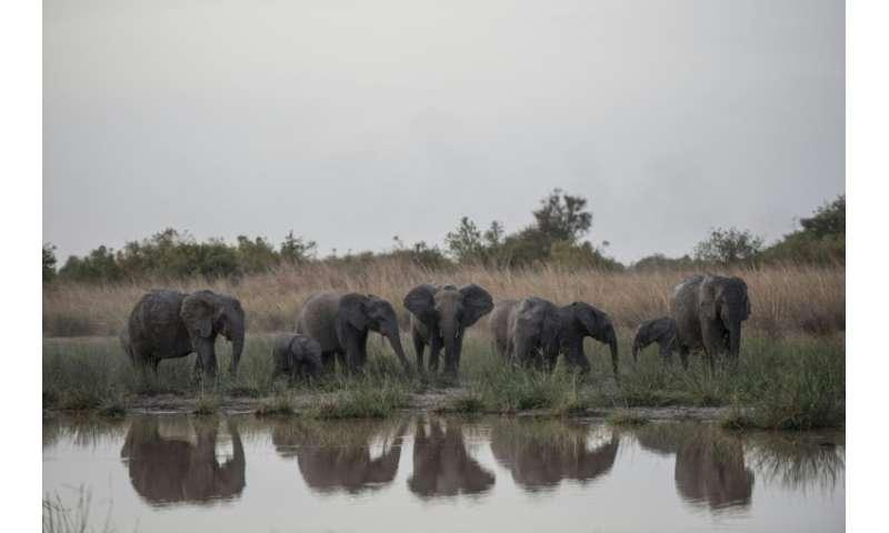 A herd of elephants gathers around a waterhole in Pendjari National Park, northern Benin