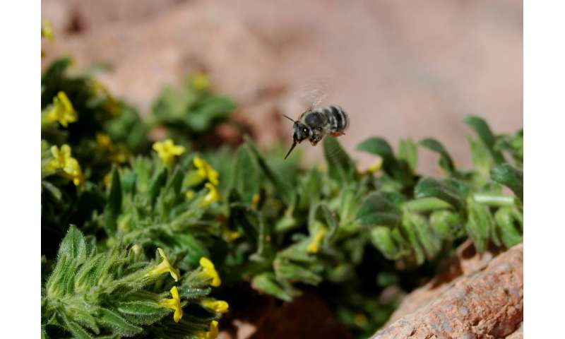 Alien honeybees could cause plant extinction