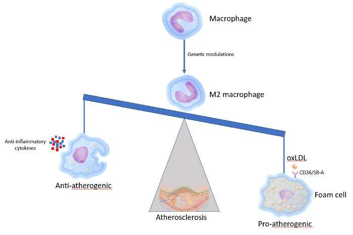 Altering the appearance of macrophages to prevent atherosclerosis