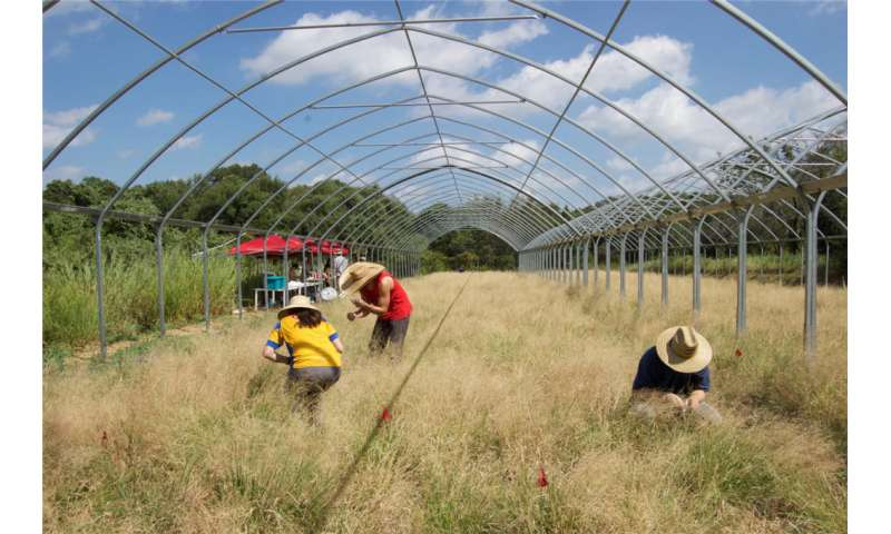 A model system for perennial grasses