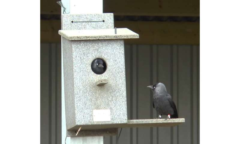 Angry birds: Size of jackdaw mobs depends on who calls warning