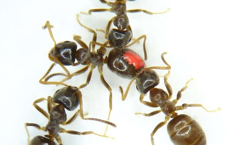 Antibiotic resistance fight could get a little help from ants