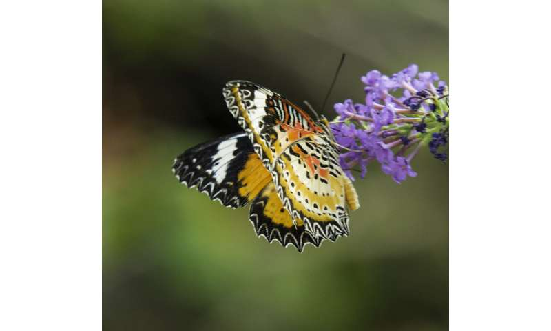 Better butterfly learners take longer to grow up