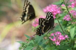 Butterfly gardens offer some hope for pollinators