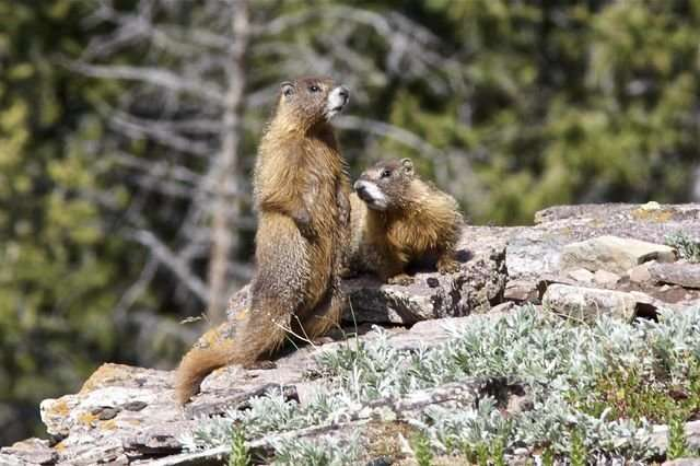 Can being too social take years off your life? Yes, biologists report, if you're a marmot