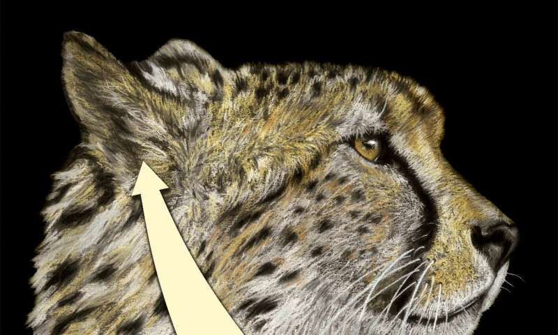 Cheetahs' inner ear is one-of-a-kind, vital to high-speed hunting