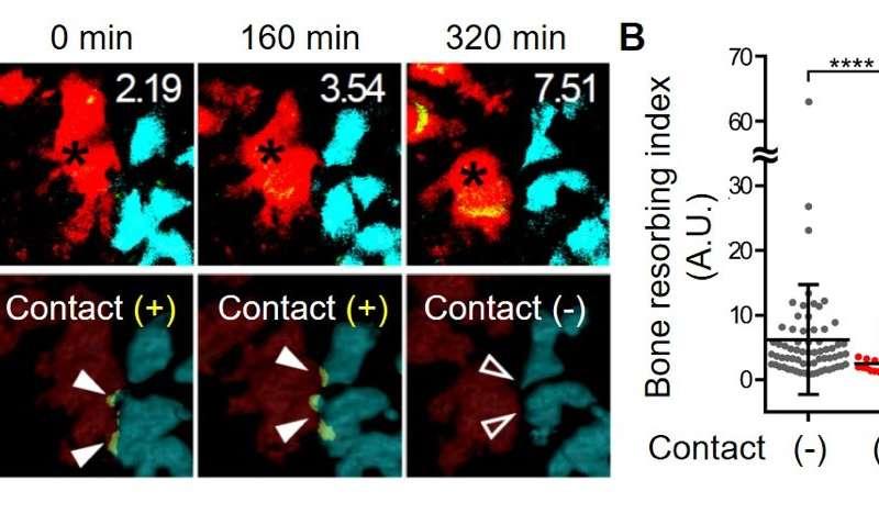 Clarifying the interplay between bone cells in bone remodeling