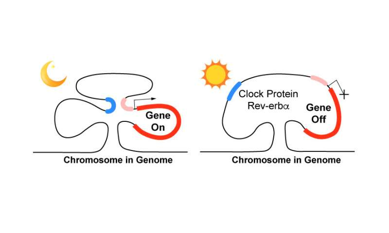 Clock protein controls daily cycle of gene expression by regulating chromosome loops