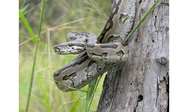 'Cold-blooded' pythons make for caring moms