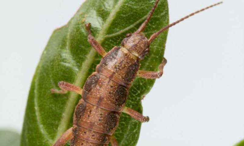 Comes Naturally? Using Stick Insects to Study Natural Selection, Predictability of Evolution