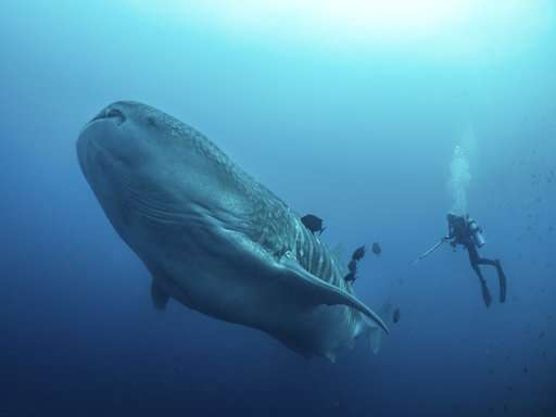 Cracking the mysteries of the elusive, majestic whale shark