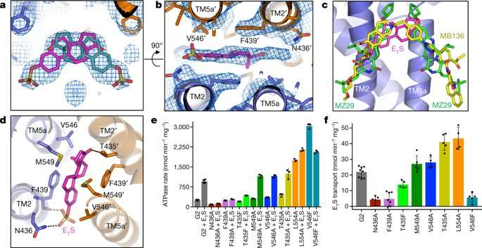 **Cryogenic-Electron Microscopy (Cryo-EM) structures of a human ABCG2 mutant transporter protein