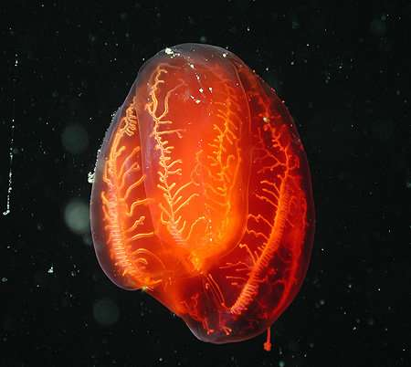 Ctenophores and the story of evolution in the oceans
