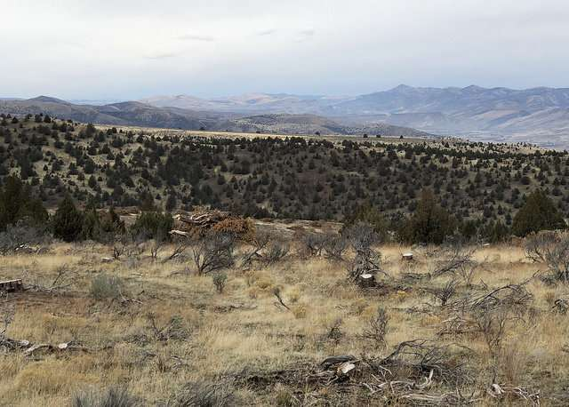 Cutting and leaving invasive western juniper may lead to increase in invasive grasses