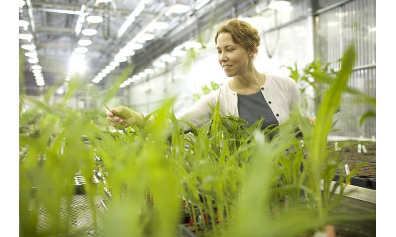 Danforth center uncovers a genetic mechanism that could enhance yield in cereal crops