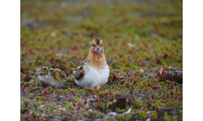 Decline in shorebirds linked to climate change, experts warn