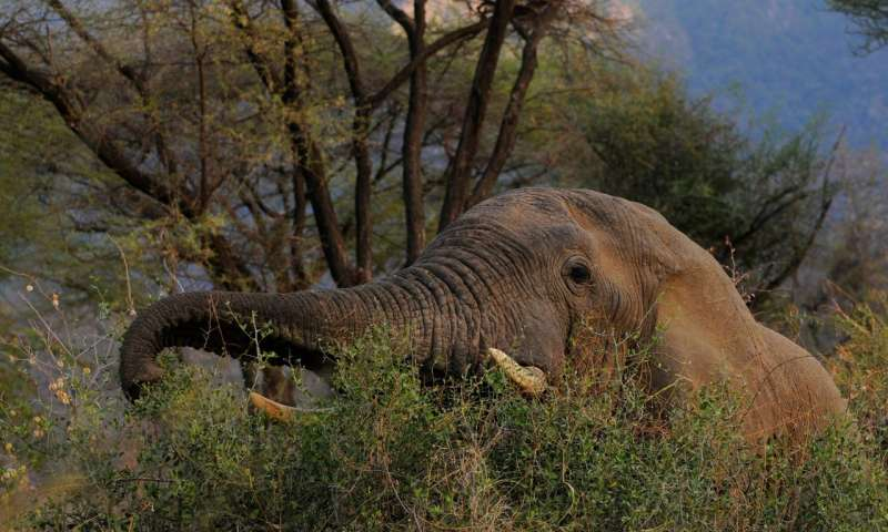 Elephants and ivory – protecting the world's largest land mammal