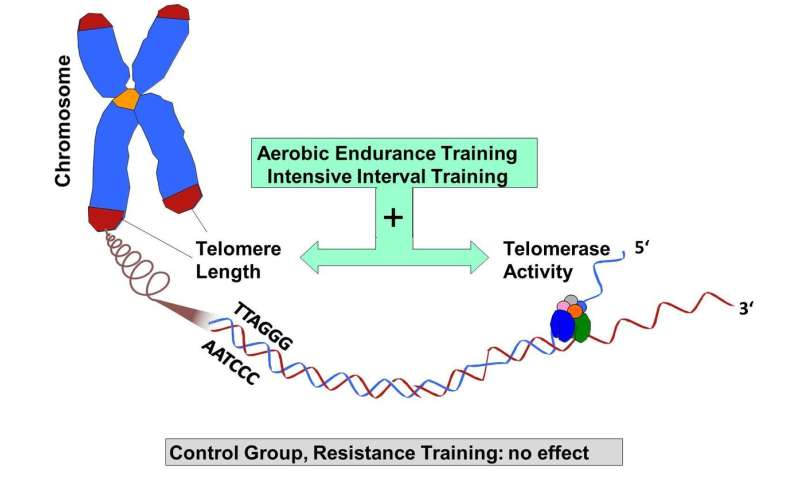 Endurance, but not resistance training, has anti-aging effects