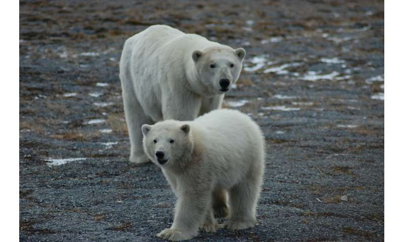 First tally of US-Russia polar bears finds a healthy population