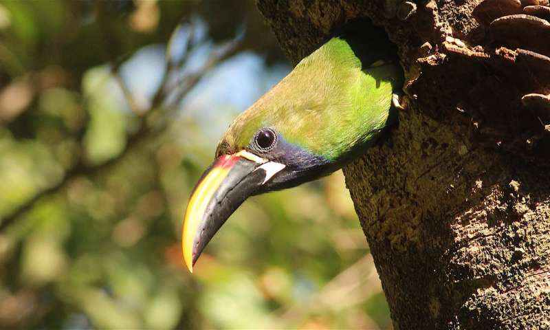 For tropical forest birds, old neighborhoods matter