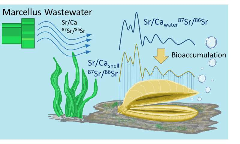 Fracking wastewater accumulation found in freshwater mussels' shells