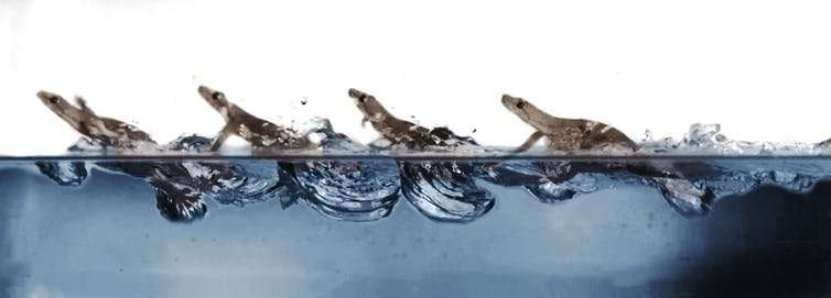 Geckos filmed to find out how they walk on water