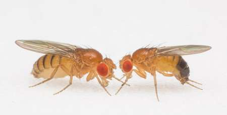 Gut bacteria influence movement in flies