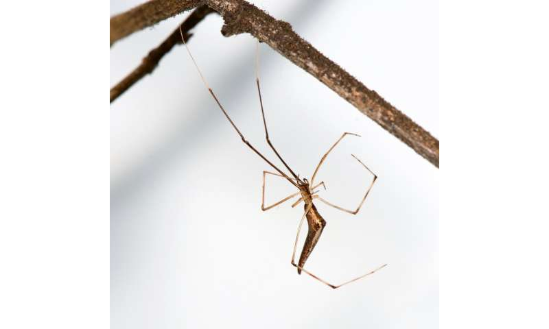 Hawaiian stick spiders re-evolve the same three guises every time they island hop