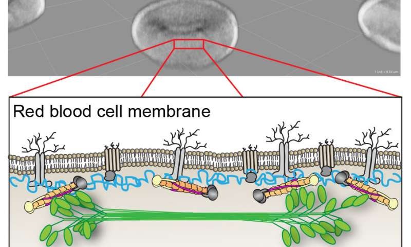 Healthy red blood cells owe their shape to muscle-like structures