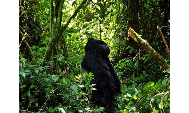 How catching malaria gave me a new perspective on saving gorillas