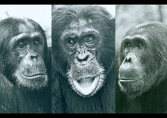 How infighting turns toxic for chimpanzees