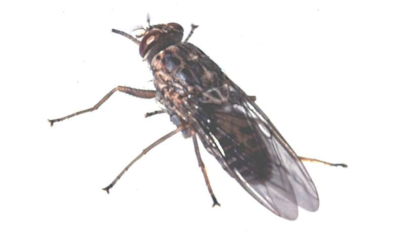 How Nagana is carried by tsetse flies
