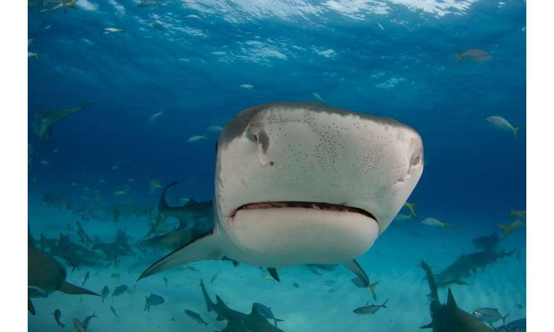 How sharks and other animals evolved electroreception to find their prey